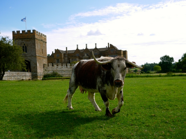 Broughton Castle Cow