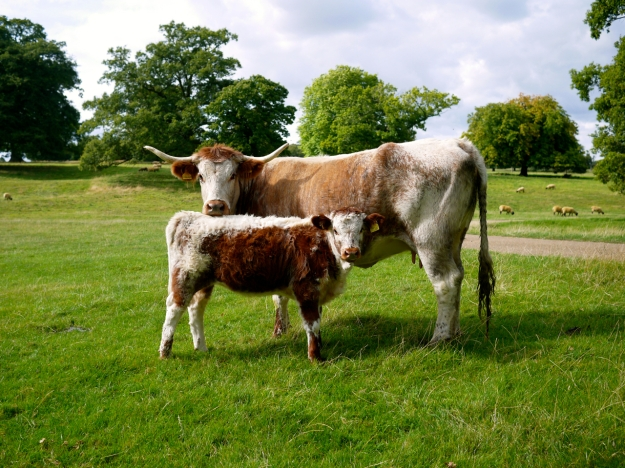 Broughton Castle Cows