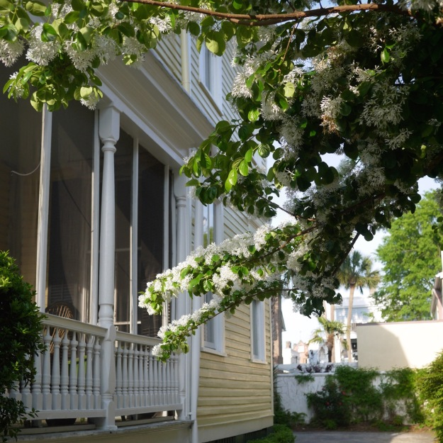 Charleston Boughs heavy with Blossoms