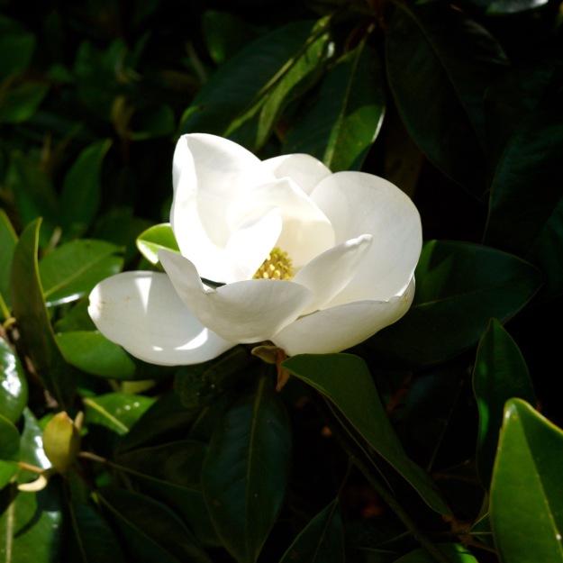 Hampton Park Charleston Magnolia Bloom