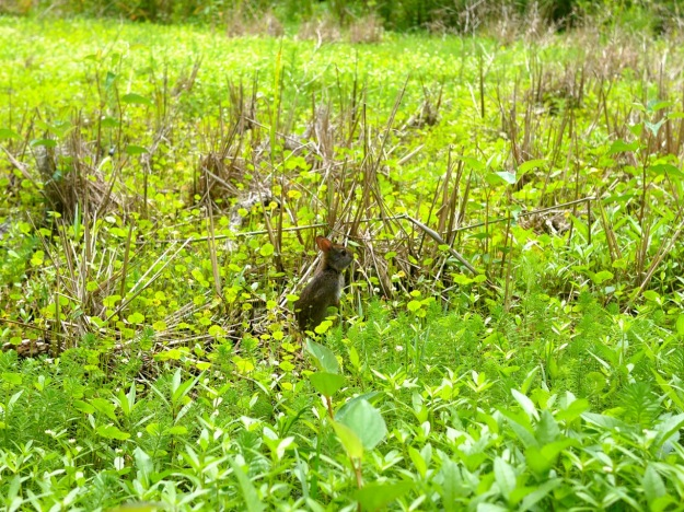 Magnolia Plantation Marsh Rabbit