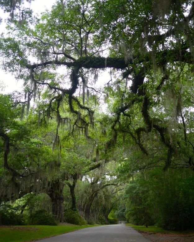 Magnolia Plantation Spanish Moss Drive