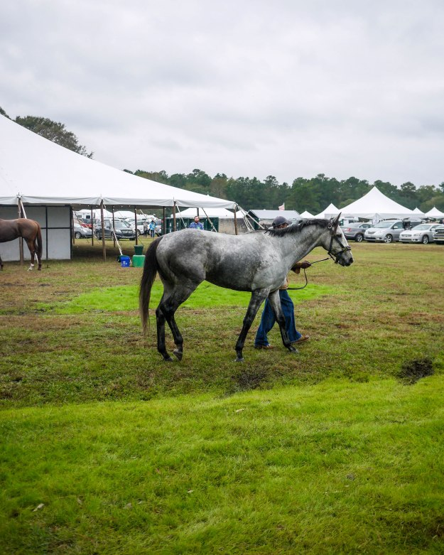 Charleston Cup 2015 Paddock Dapple Grey